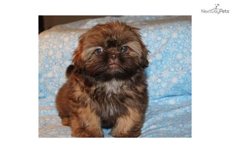 shih tzu puppies dallas shih tzu puppy for sale near dallas fort worth d2d25977 5441