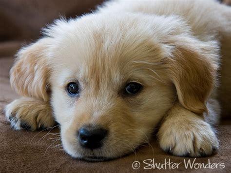 average weight golden retriever puppy golden retriever puppy shutter wonders