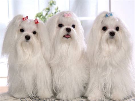 shih tzu hair types shih tzu dogs breed information personality pictures dogs