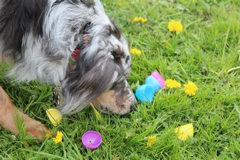 feeding dogs eggs bring on the eggs snoqualmie valley easter egg hunts ready for droves of children