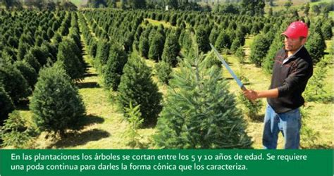 the production of christmas trees in mexico geo mexico