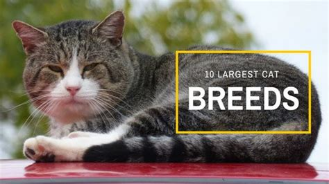 giant house cat 10 largest domestic cat breeds some are huge