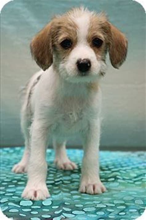 yorkie and beagle mix 1000 images about adopt rescue on chihuahuas shelters and pets