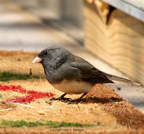 Vacum Cleaner Bird birding in michigan junco or vacuum