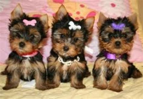 yorkie tips send you an expert yorkie tips and advice ebook 128