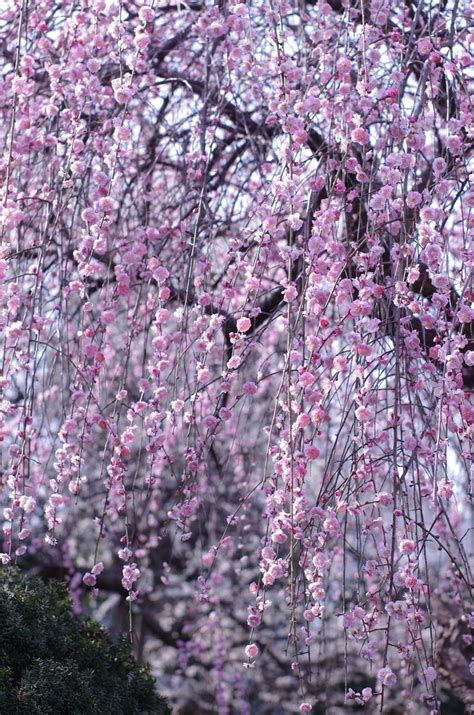 b q cherry tree plum cherry blossom tree images
