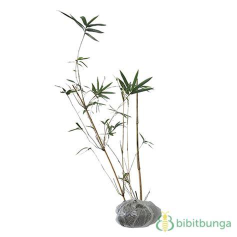 Bambu Kuning Mini By Agrosegar tanaman bambu kuning mini bibitbunga
