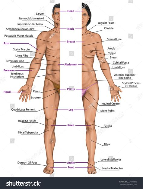 sections of body male female anatomical body surface anatomy stock
