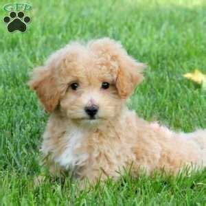 puppies for sale in nj 300 poodle mix puppies for sale in de md ny nj philly dc and baltimore breeds picture