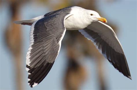 california gull san diego bird spot