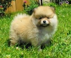 pomeranian breeders in michigan pomeranian breeders personally recommended