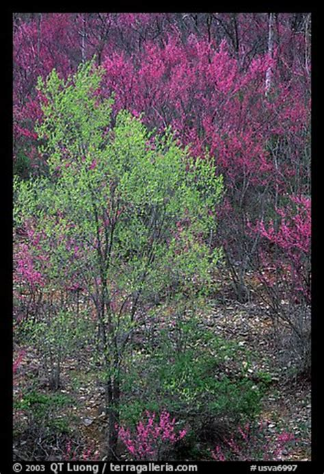 picture photo redbud tree in bloom and tree leafing out virginia usa