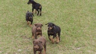 puppies for sale palm bay fl doberman puppies for sale florida alot