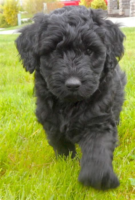 black labradoodle puppies 1000 ideas about black labradoodle on labradoodles australian