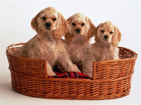 free cocker spaniel puppies everything top cocker spaniel