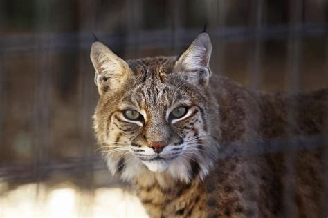 styles to do with bobcur video rabid bobcat attacks man and dog in arizona