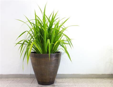 come curare le piante da appartamento come curare le piante d appartamento piante da interno