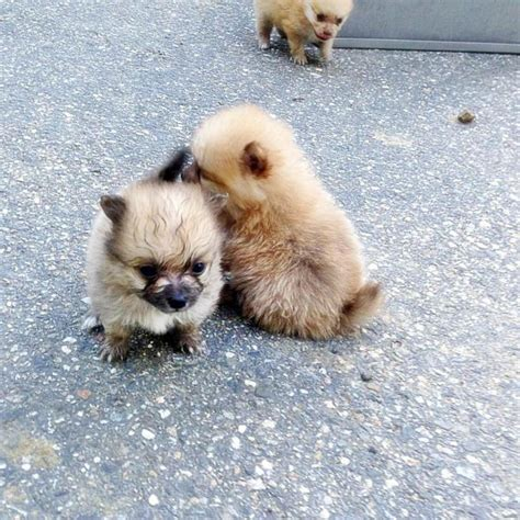 mini pomeranian puppies for sale in charming mini pomeranian puppies for sale pomeranian puppies