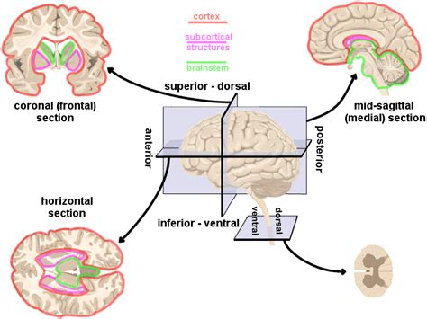 Four Sections Of The Brain by Human Brain Directions Cross Sections And Divisions