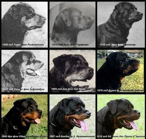 rottweiler weight rottweiler growth breeds picture