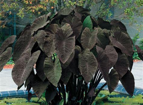 Tanaman Hias Keladi Hitam 5 macam tanaman hias air tawar yang indah dan mempesona