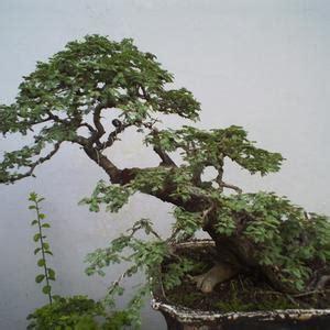 Bibit Bonsai Murah jual pohon bonsai terbaik harga terjangkau jual bibit