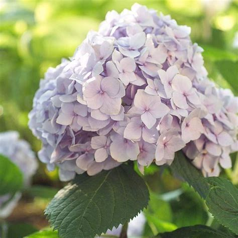 four easy care summer flowering shrubs e i e i o pinterest