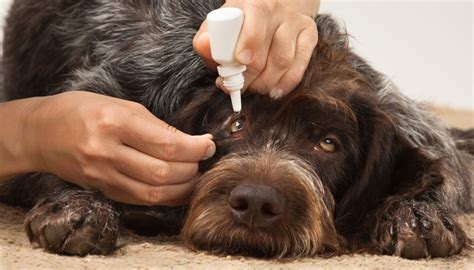 conjunctivitis in dogs 7 common eye problems in dogs how to prevent and deal with them