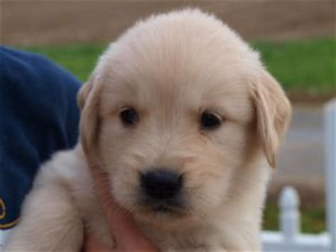 golden retriever puppies for sale manchester golden retriever puppies for sale beautiful akc loveable golden retriever puppies