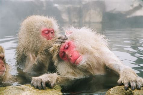Be To Animals snow monkey 5 unique animals from japan insidejapan