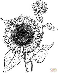 sunflower coloring page blooming sunflower coloring coloring