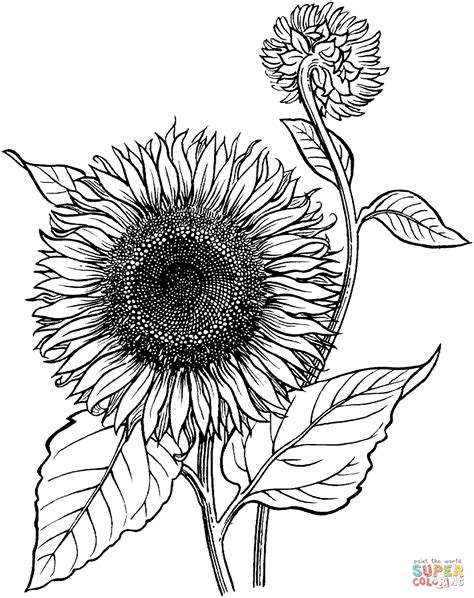 blooming sunflower coloring online super coloring