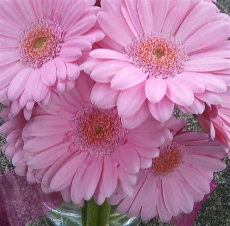 gerber daisies pink gerber daisies daisies