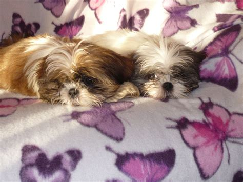 shih tzu 7 months 1 shih tzu 3 month hinckley leicestershire pets4homes