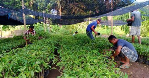 Bibit Sengon Yogyakarta bibit tanaman murah jual bibit gaharu di yogyakarta