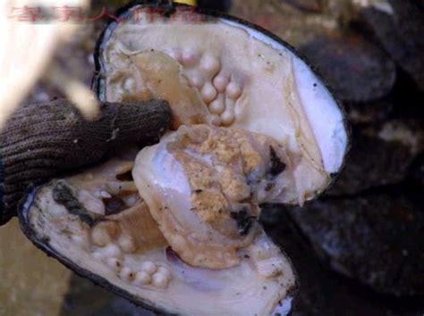 Mutiara Kerang Asli jenis kerang penghasil mutiara harga mutiara lombok