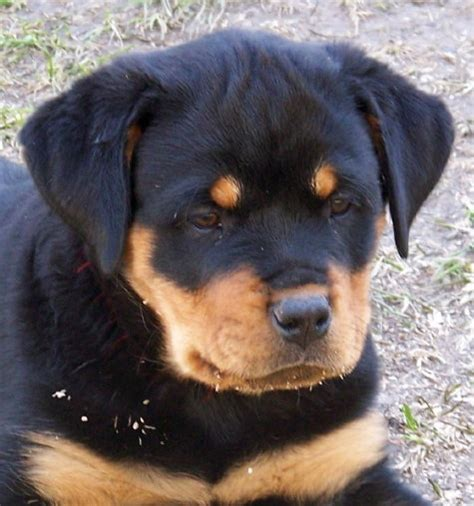 rottweiler puppies for sale in nd dakota akc rottweilers for sale uci chion german rottweiler breeder