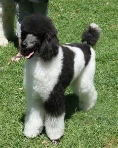 parti colored parti poodle photos standard parti miniature parti parti