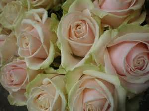 Wedding Flowers Bulk Roses Californian Sweet Avalanche