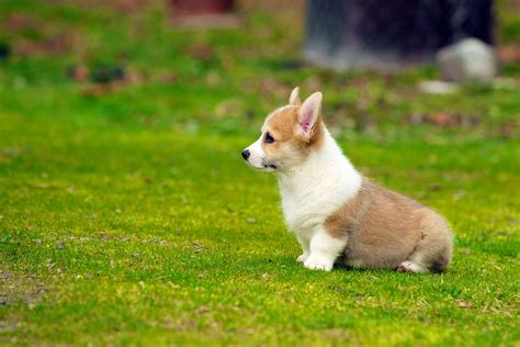 pictures of corgi puppies corgi pup corgis breeds picture