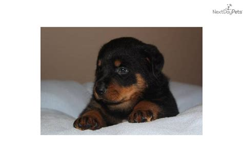 rottweiler puppies for sale bakersfield ca akc german breeds picture