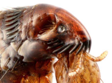 cat fleas vs fleas fleas part three the counter flea products vs ones prescribed by a