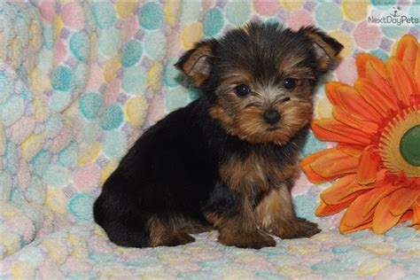 black yorkie puppy black terrier puppy breeds picture