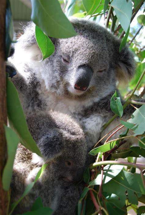 High Koala Meme - the gallery for gt high koala