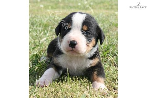 swiss mountain puppies for sale greater swiss mountain for sale for 1 400 near joplin missouri 029261e3 91c1