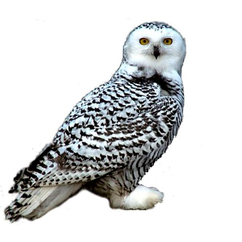 image snowy owl png camp half blood role playing wiki