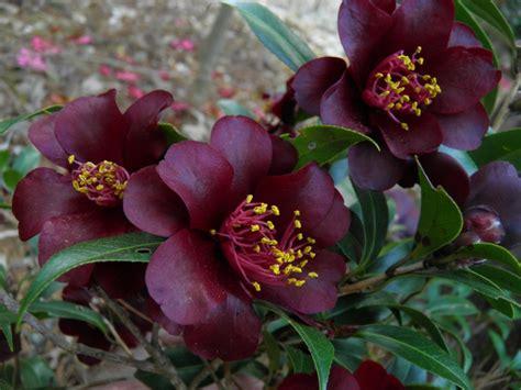 Black Camellia camellia hybrid rider dressed in black plants