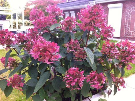 Hortensie Wims rispen hortensie wims hydrangea paniculata wims