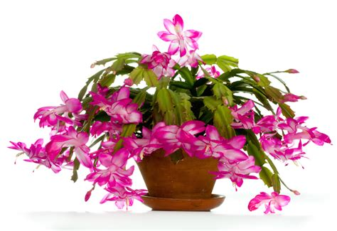 how much darkness do christmas cactus need tips for growing thanksgiving and easter cactus garden club