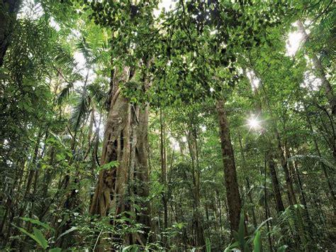 tropical subtropical trees subtropical rainforest steve parish nature connect